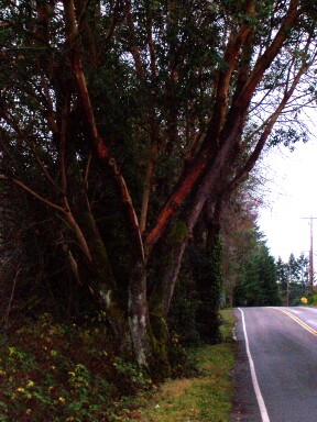 pacific_madrone.jpg