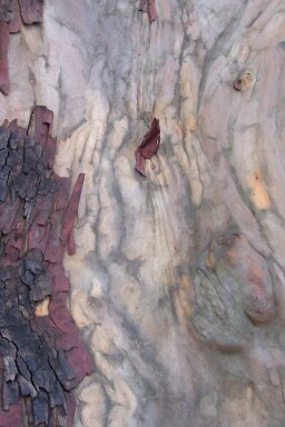 pacific_madrone_bark.jpg
