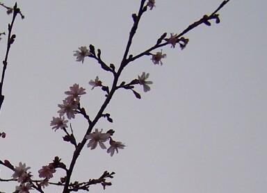 floweringcherry.jpg