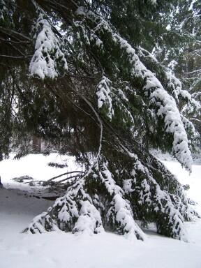 snowylimbs