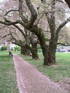 cherrytrees3