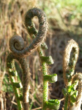 fiddleheads1