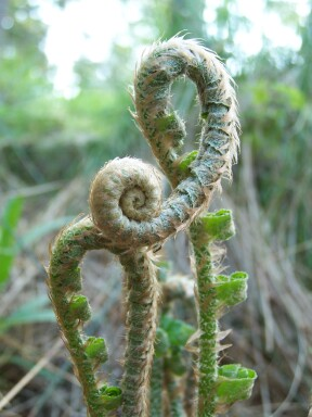 fiddleheads3