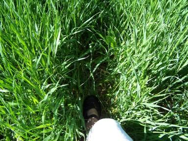 meadowgrasses