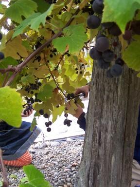 grapeharvest1